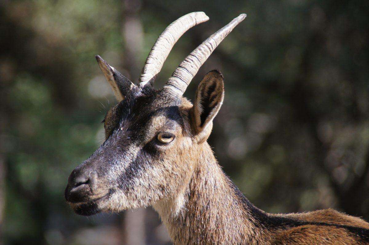 Kri-kri (the rare Cretan goat) in Samariá gorge