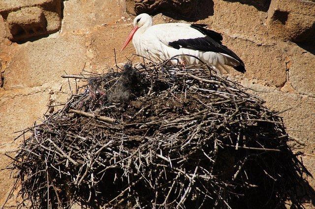 Cáceres stork