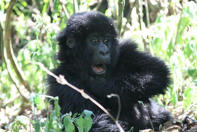 Baby Gorilla - vegan travel in the Congo (DRC)