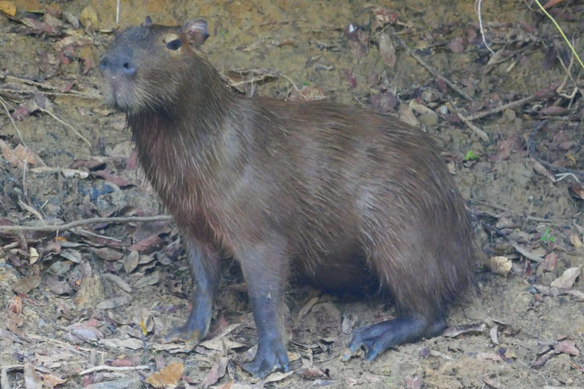 Capybara in the Pantanal Brazil