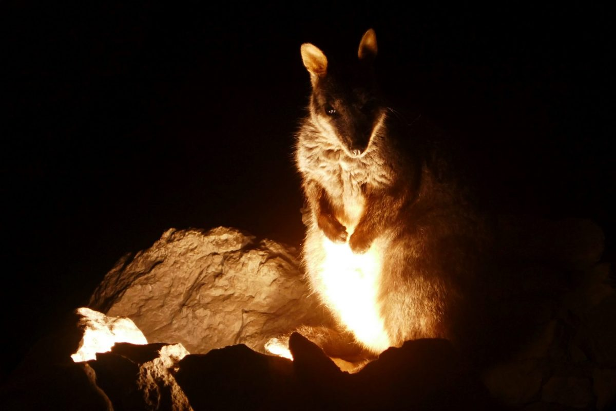 A rock wallaby warming up by the lights at the entrance to Lucas Cave at the Jenolan Caves in the Blue Mountains