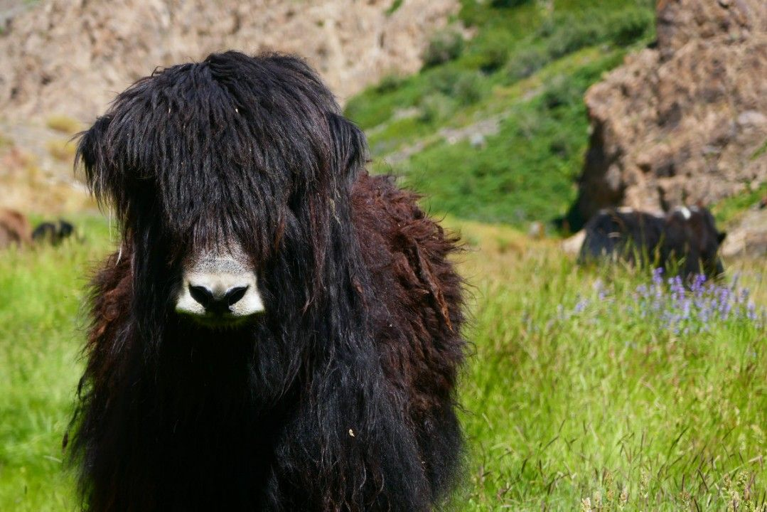 Shaggy yaks grazing at the Yolyn Am gorge