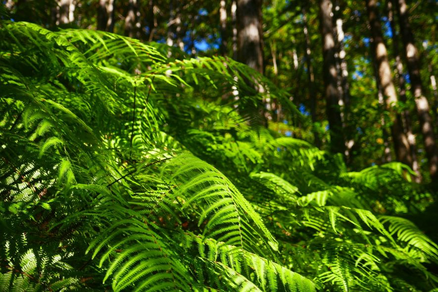 Forest ferns in Japan