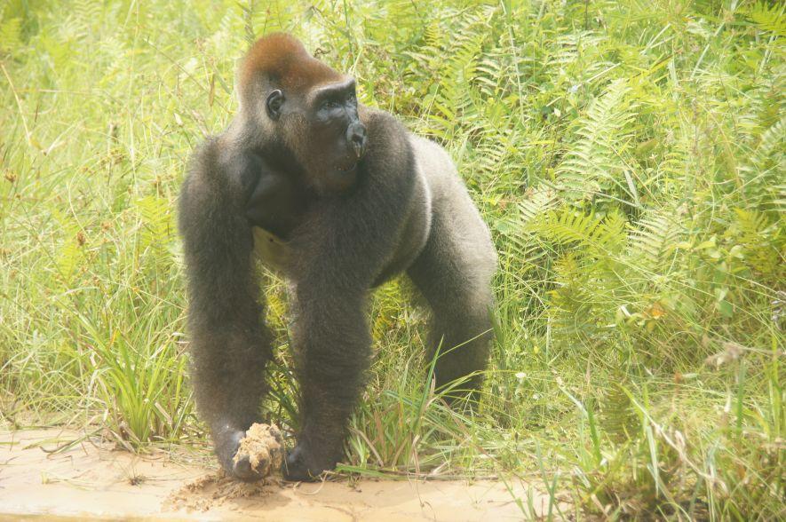 Sid the gorilla