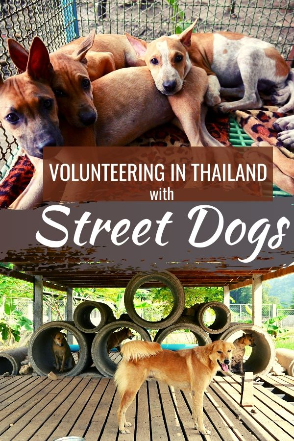 Volunteer with Dogs in Thailand